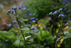 Brunnera macrophyllaPG - At its loveliest at this time of year - needs cutting back after flowering when its charms are less obvious.