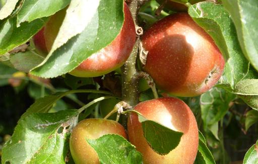 Apples'
