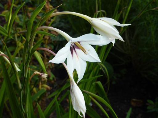 Gladiolus Callianthus'