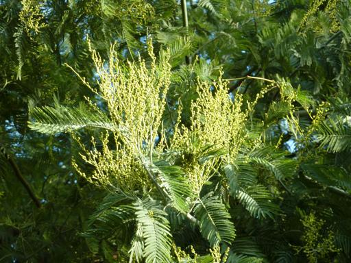 mimosa tree'