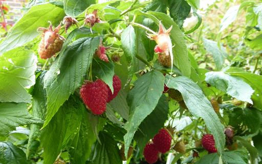 Raspberries'