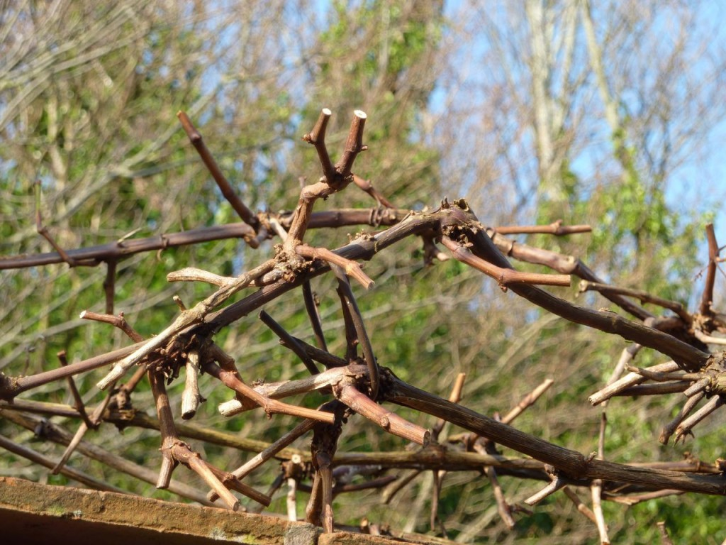 28 Best Pruning Grape Vines How To Prune Grapes How To