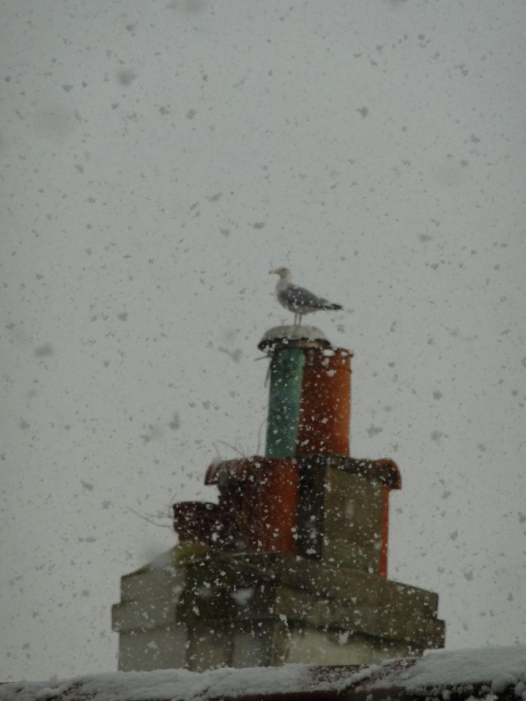 Seagull in the snow  It takes more than a blizzard to dislodge a seagull from its chimney pot!