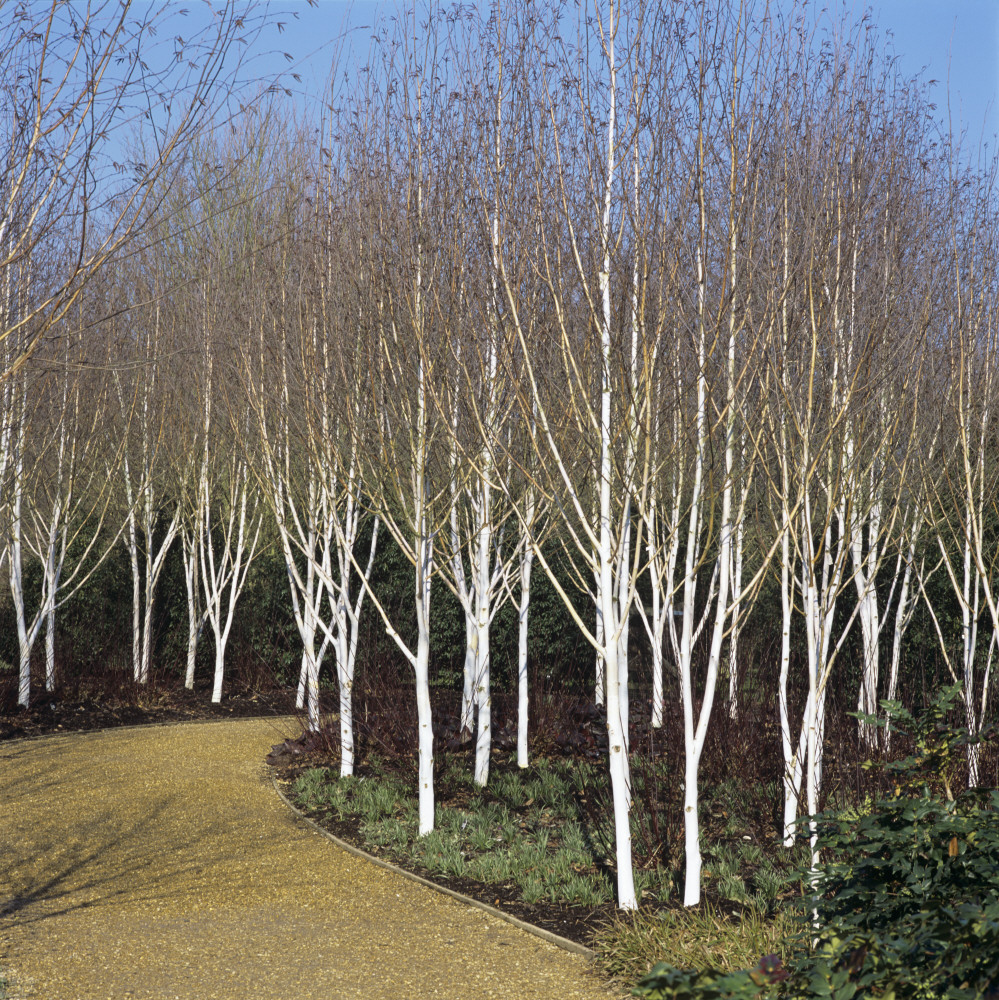 Winter garden at anglesey abbey the enduring gardener for Silver birch trees for small gardens