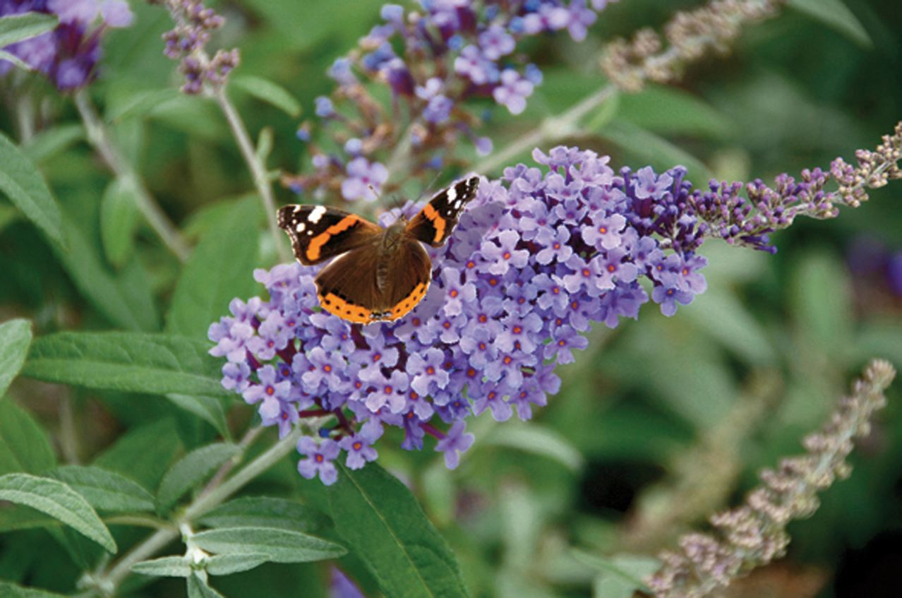 buddleia-buzz