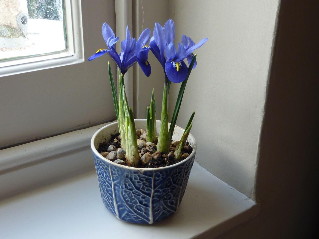 iris-reticulata