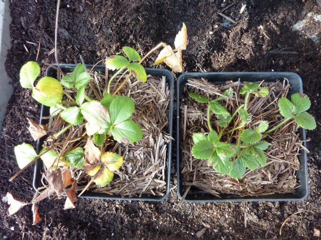 strawberries-in-coldframe