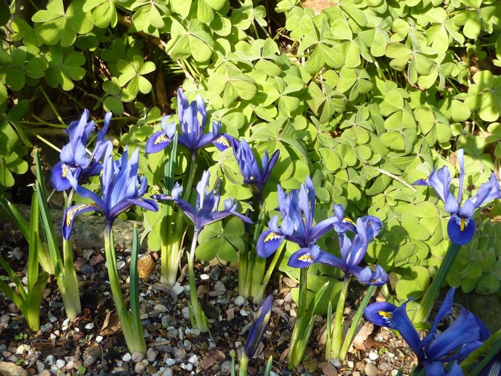 iris-reticulata2