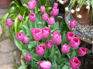 pink tulips in flower