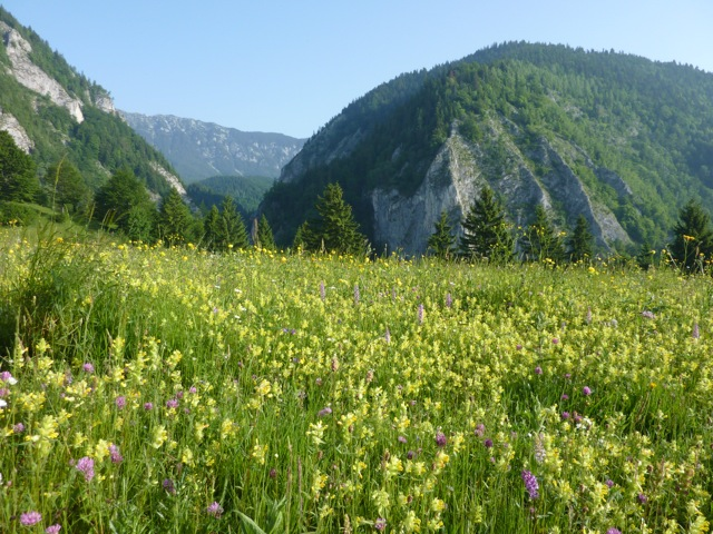 The meadow next to the guesthouse thick with yellow rattle, trollius, clover and fragrant orchids