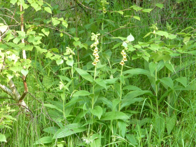 Digitalis grandis thrives in shady places
