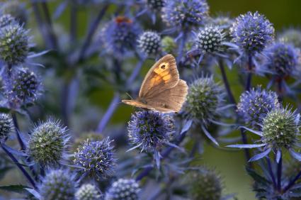 Hedgebrown butterfly feeding on an eryngium