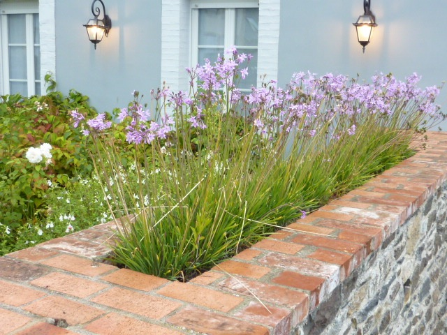 Tulbaghia in a wall-top bed