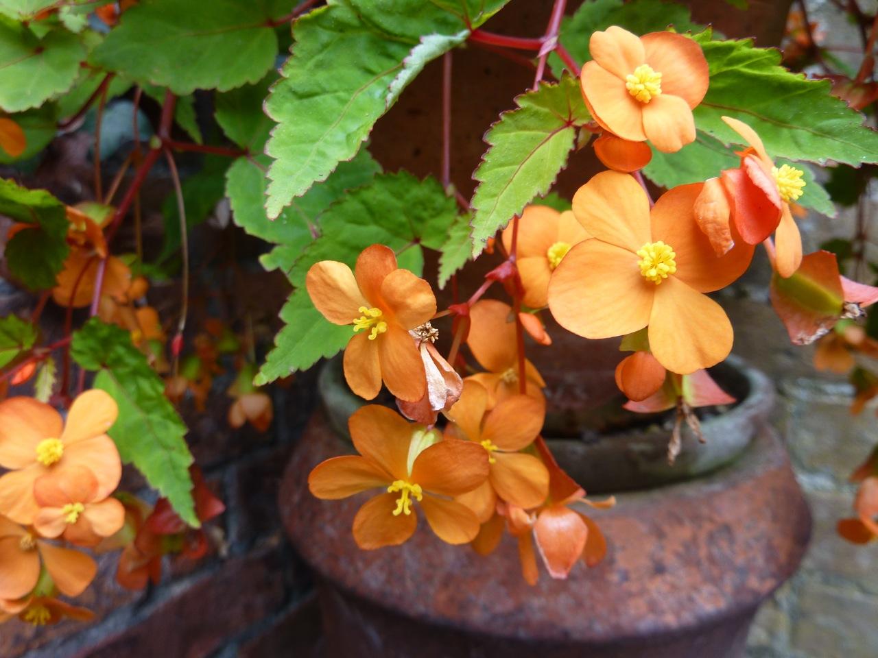 close-up of Begonia sutherlandii flowers