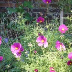 Cosmos flowers keep on coming