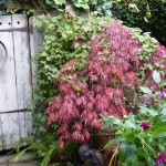 The ever-gorgeous acer
