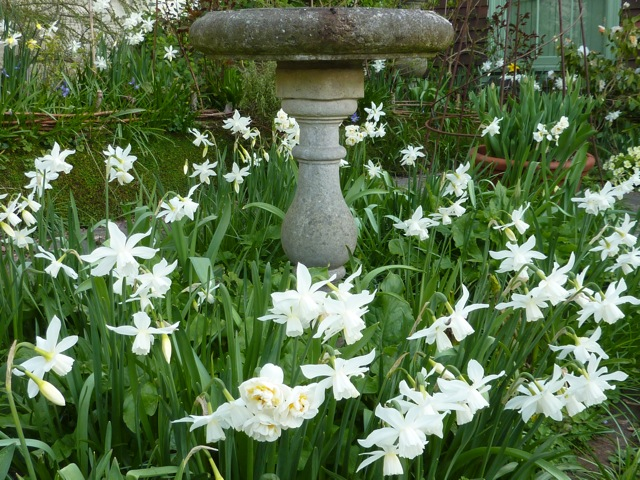 April - Narcissus Thalia and The Bride surrounding the bird bath