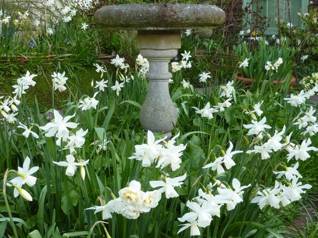 April - Narcissus Thalia and The Bride surrounding the bird bath