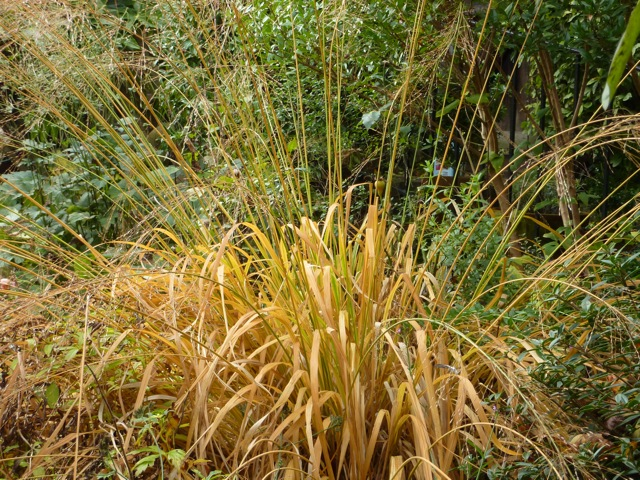 Panicum virgatum before the snow