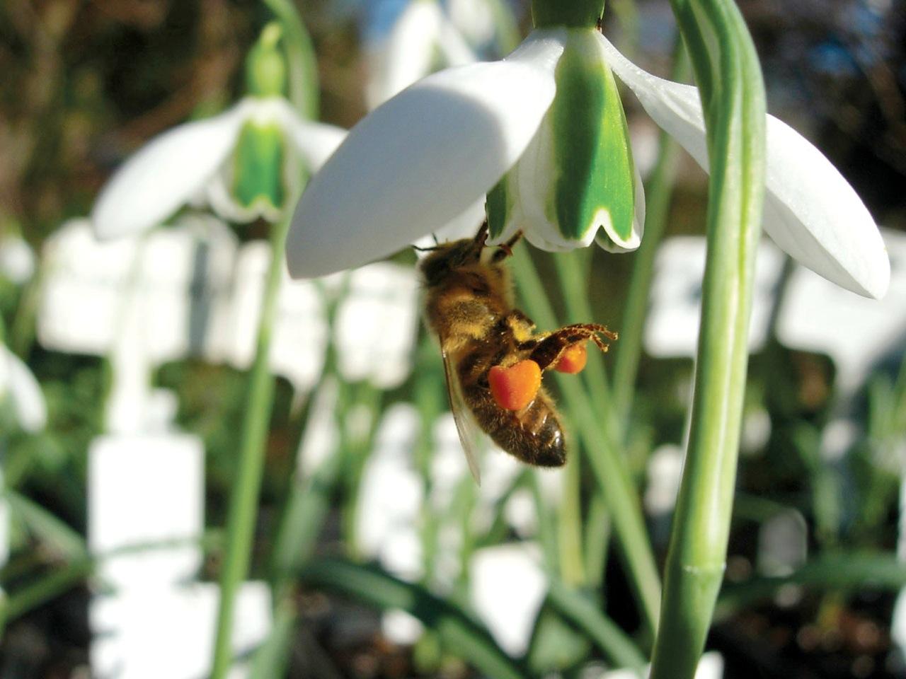 snowdrop bee