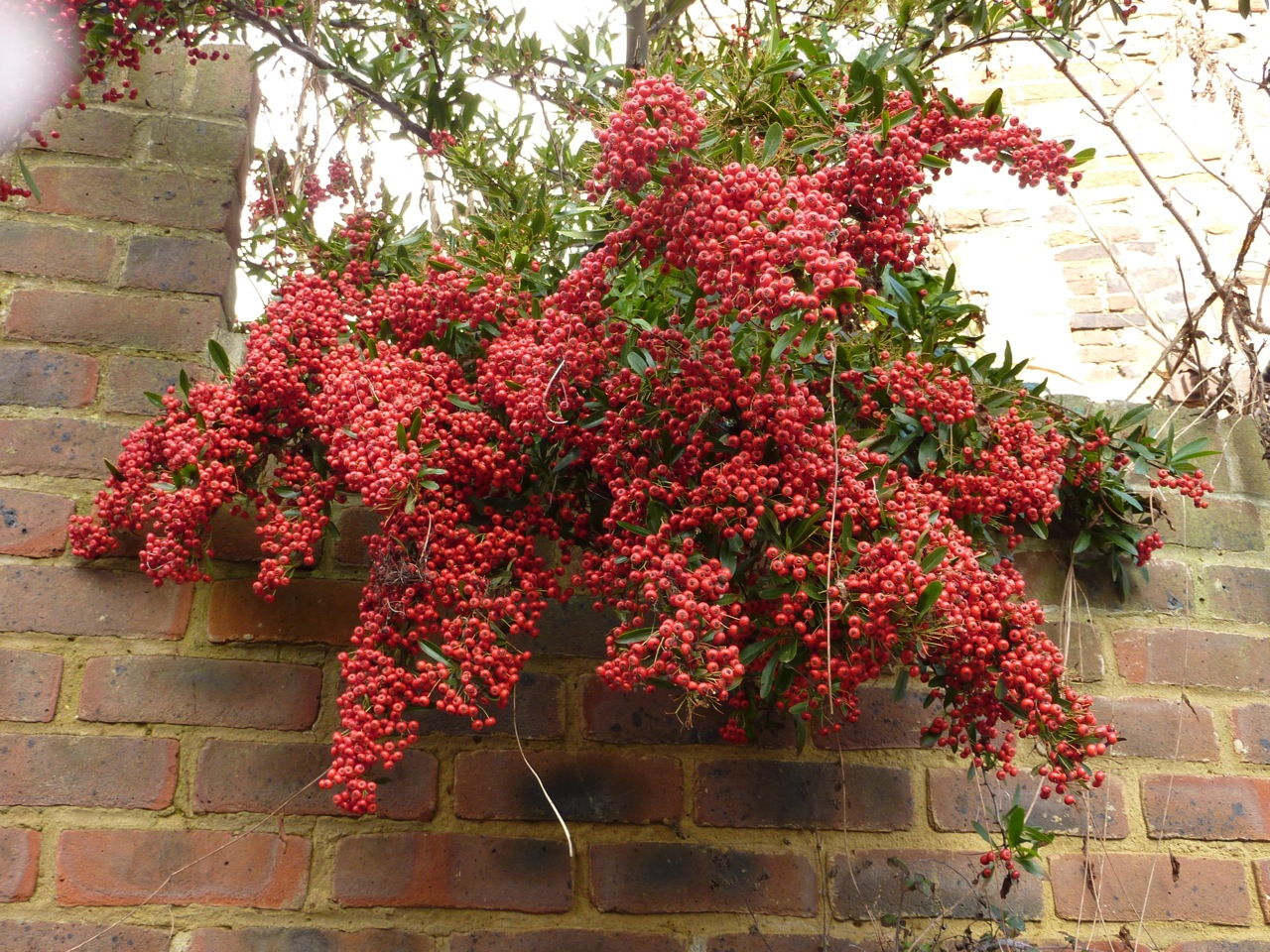 Laden pyracantha cascades over a neighbours wall