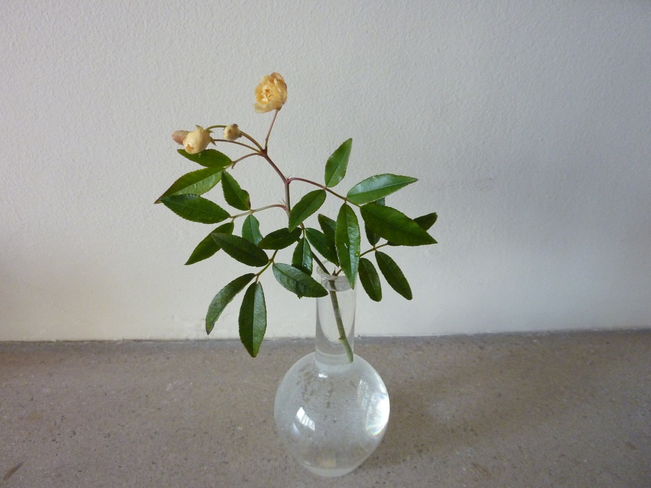 Rosa banksia lutea picked on New Year's Day