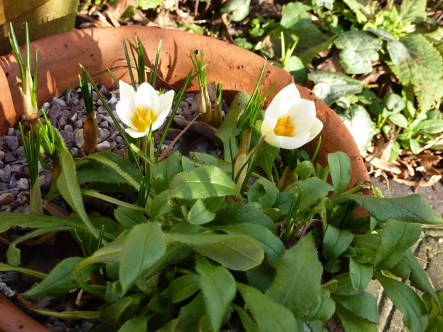Earliest crocuses Snowbunting have popped up in one of the pots