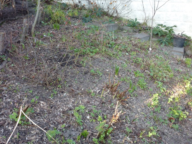 This rather bare patch of ground represents a day's work.  I've removed most of the autumn leaves and uprooted the over enthusiastic wild strawberries