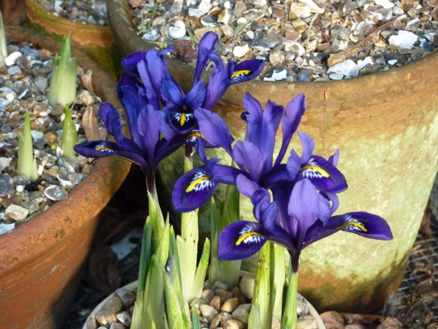 The first pots of Iris reticulata are in flower thanks to a spell in the greenhouse