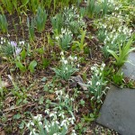 It really is worth the effort dividing snowdrops -these  are increasing each year beneath the tulip tree