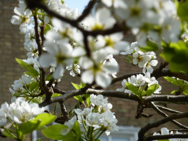 pear-blossom
