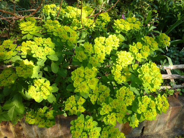Euphorbia palustris is one of my favourite plants at this time of year with its wonderfully fresh colouring.