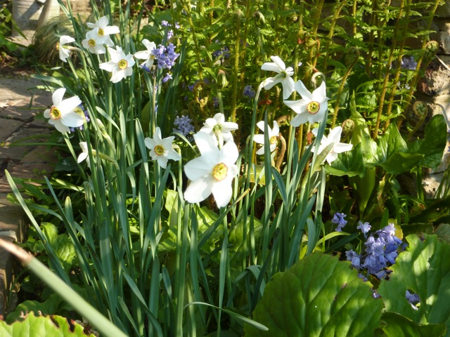 The pheasant eye narcissus have really multiplied this year and I love the way these late-flowerers look among the ferns and the bluebells.