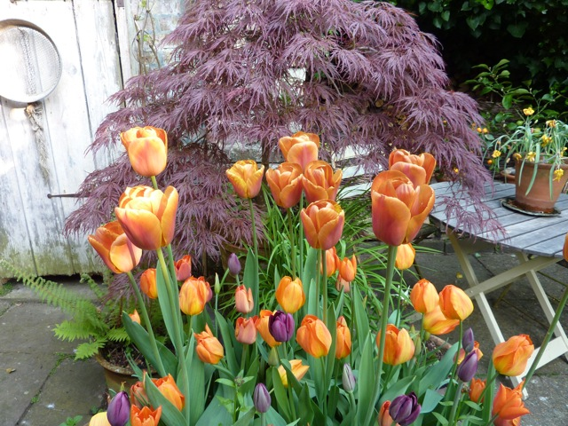The Courtyard combo is another tulip triumph this year with Cairo, Brown Sugar, Dordogne and Cafe Noir
