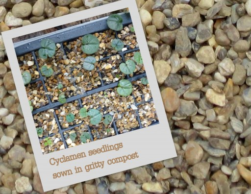 cyclamen seeds grow amongst grit