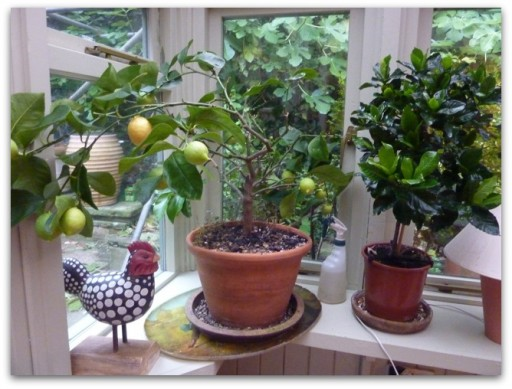 lemon tree in old pot on windowsill