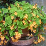 flowering begonia in pot