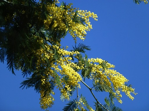 deep blue sky behind bright yellow mimosa flower