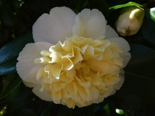 open mellow yellow camellia flower