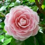 spectacular pink camellia