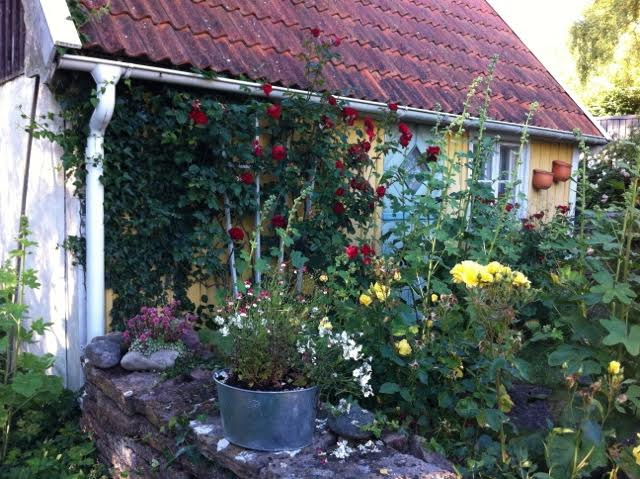 cottage garden with climbing roses