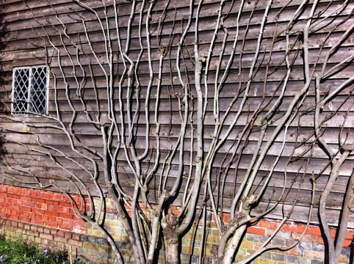 fig tree in winter being trained against a wall