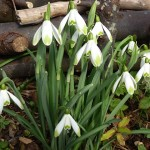 The Glory of the Galanthus