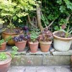 succulents in garden pots