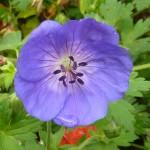 geranium-rosanne