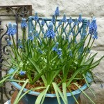 blue-hyacinths-in-blue-pot