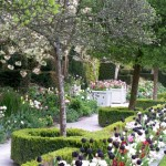 tulips-in-flower-in-this-formal-garden-border