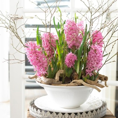 pink hyacinth in flower