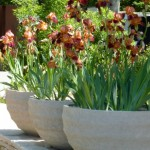irises-in-garden-pots