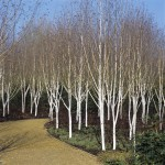 bright-white-silver-birch-with-scrubbed-bark-aside-garden-path